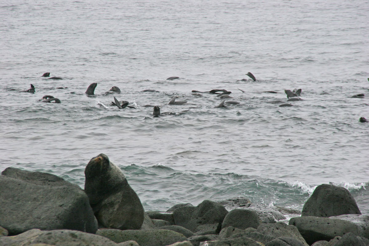 Northern Fur Seal - females in water