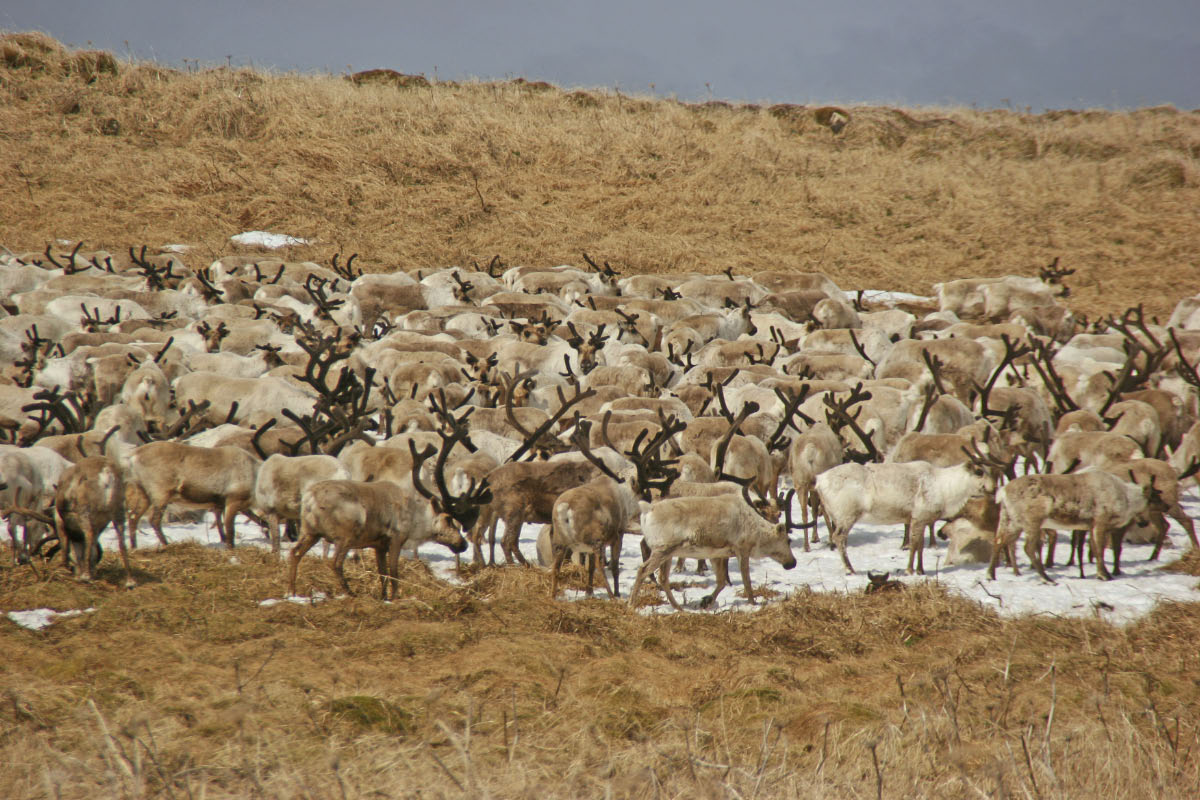 Raindeer Herd - St. Paul Island