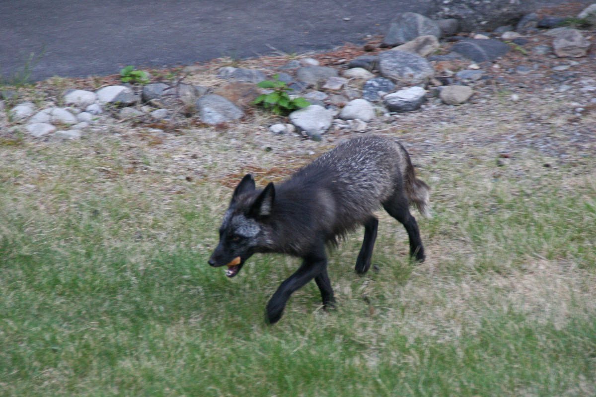 """Gray"" Red Fox near Denali NP Entrance.  This fox came up close to the motel where we were spending the night and stayed around long enough for a quick photo."