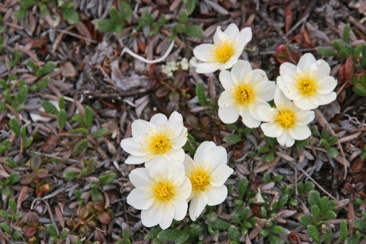 Alpine Wildflowers - Denali Hwy
