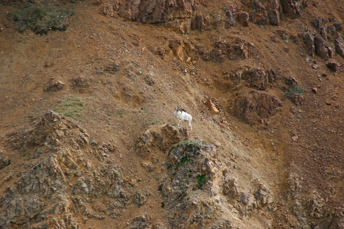 Dall's Sheep - Denali NP.   These Dall's Sheep were high up on a steep sided mountain slope.  We saw many of these sheep in the park.