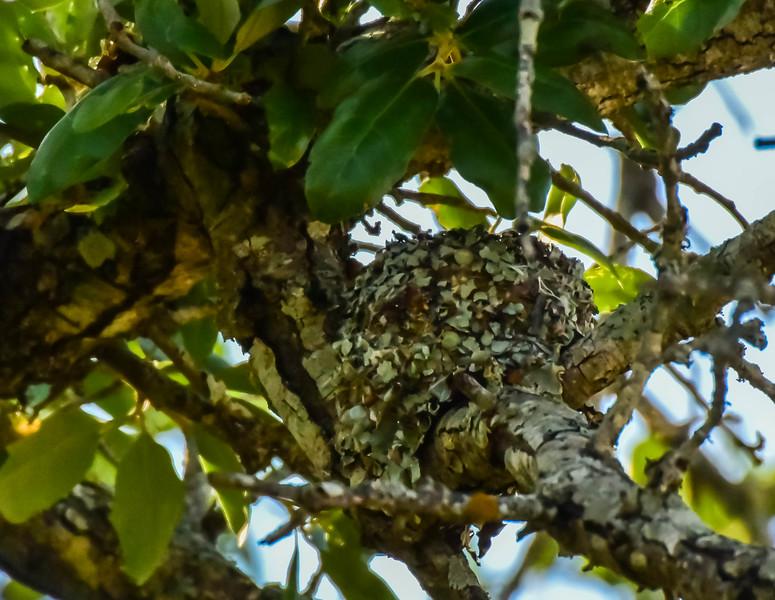 Blue-gray Gnatcatcher Nest