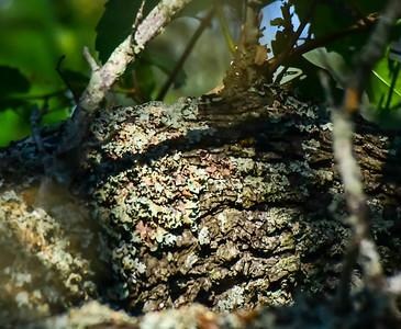 Black-chinned Hummingbird Nest