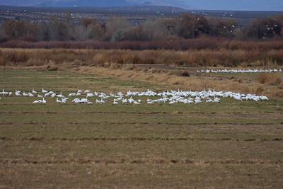 Snow Geese - Farm Loop