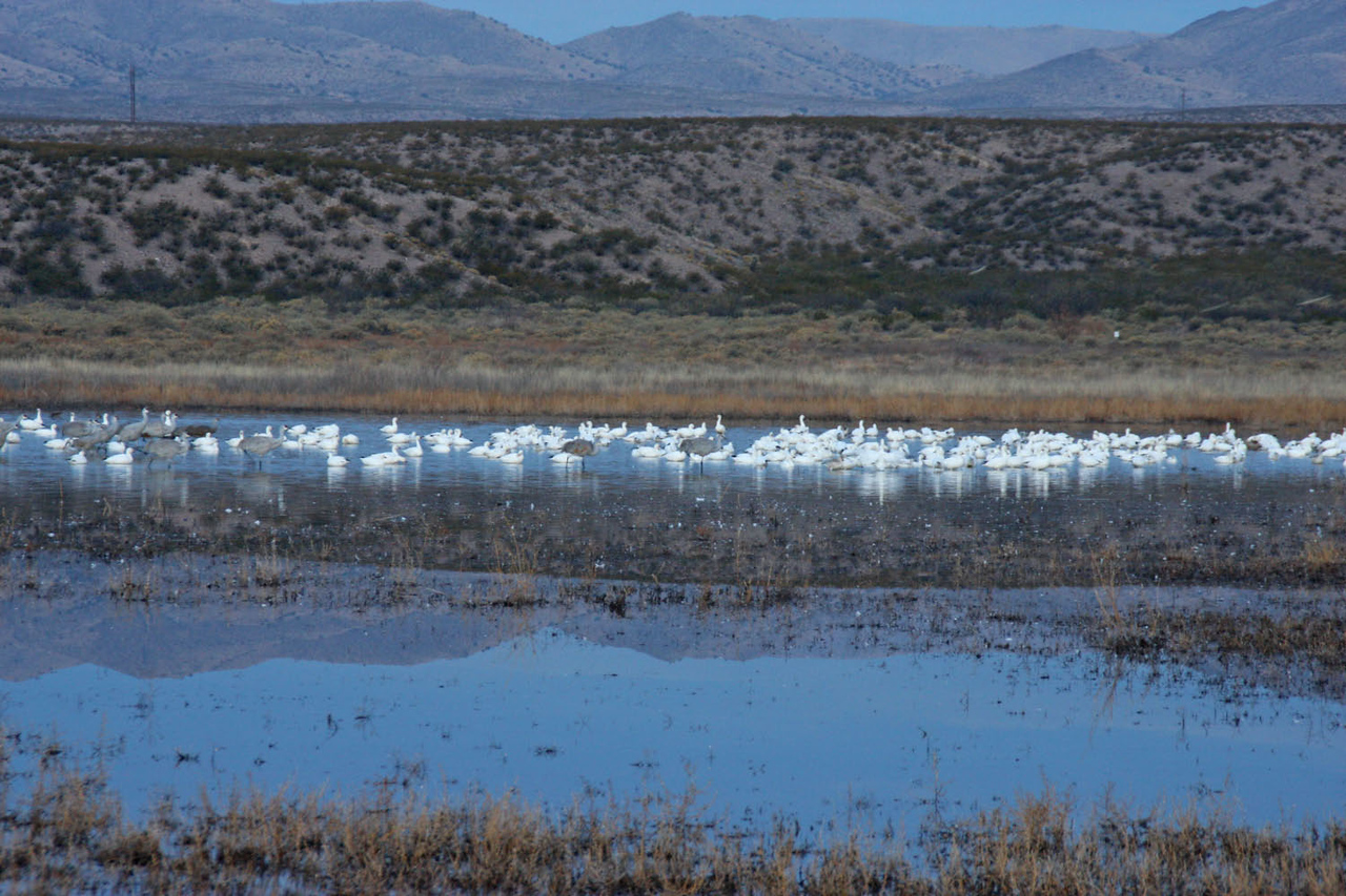 Snow Geese - Hwy 1 Ponds