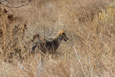 Coyote - Hwy 1