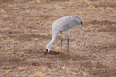 Sandhill Crane - Farm Loop