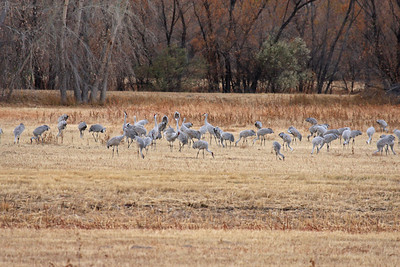 Sandhill Cranes - Farm Loop