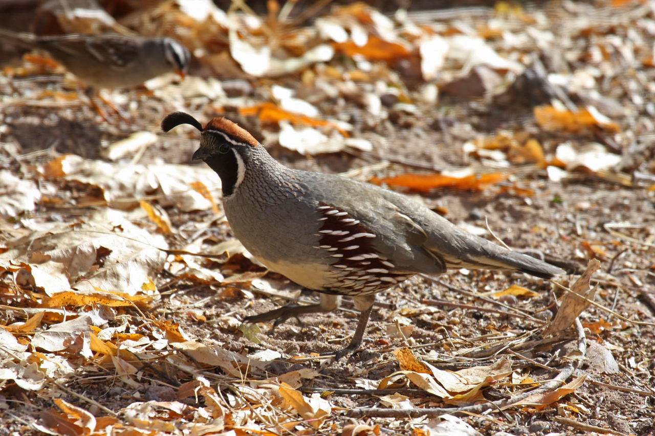 Gambel's Quail - Visitor's Center