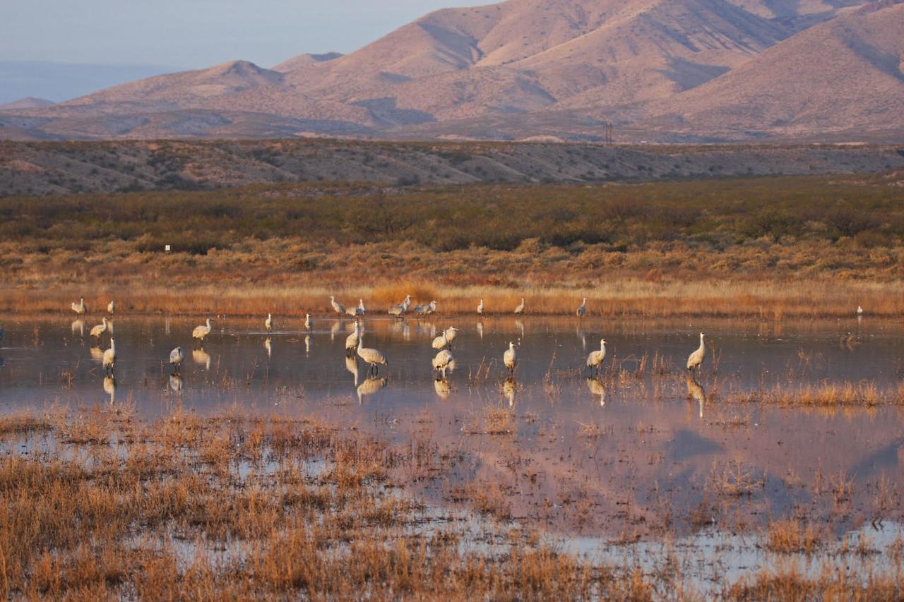 Sandhill Cranes - Hwy 1 Ponds