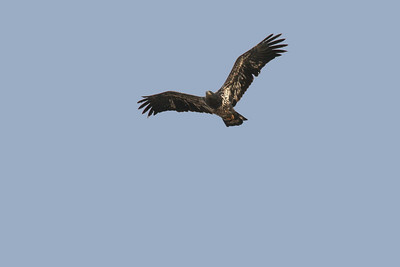 Bald Eagle - Second Year