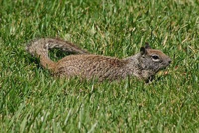 Squirrel - Shoreline Park -  Mountain View, CA