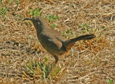 California Thrasher - Rancho San Antonio Park -  Cupertino, CA