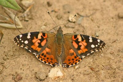Painted Lady - Monte Bello Open Space - Palo Alto, CA