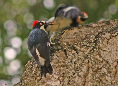 Acorn Woodpecker - Rancho San Antonio Park -  Cupertino, CA