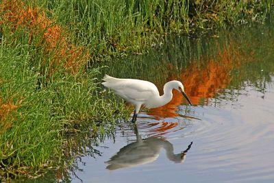 Snowy Egret - Palo Alto Baylands - Palo Alto, CA