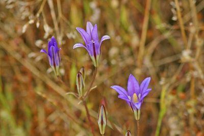 Wildflowers - Monte Bello Open Space - Palo Alto, CA