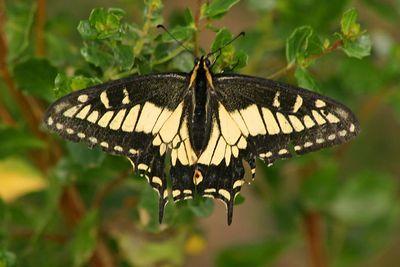 Anise Swallowtail - Palo Alto Baylands - Palo Alto, CA
