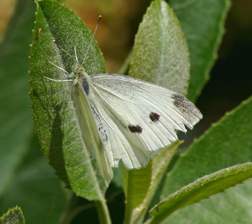Cabbage White -  