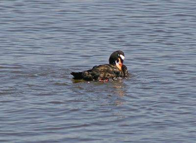 Surf Scoter - Shoreline Park -  Mountain View, CA