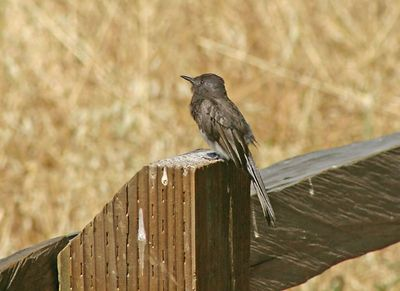 Black Phoebe  - Rancho San Antonio Park -  Cupertino, CA