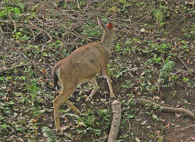 Deer  - Rancho San Antonio Park -  Cupertino, CA