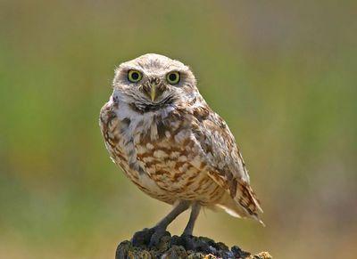 Burrowing Owl -   Don Edwards San Francisco Bay NWR -   Alviso, CA