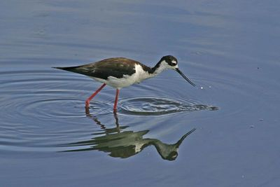 Black-necked Stilt - Palo Alto Baylands -  Palo Alto, CA