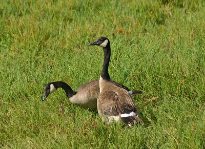 Canada Goose -   Don Edwards San Francisco Bay NWR -  Alviso, CA