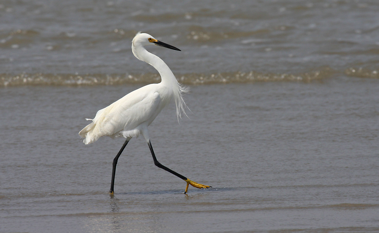 Snowy Egret - Port Aransas, TX