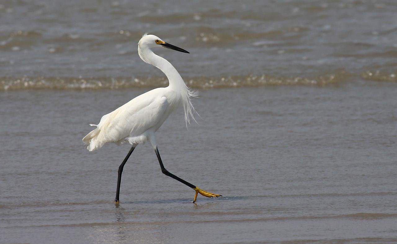 Snowy Egret - Port Aransas, TX