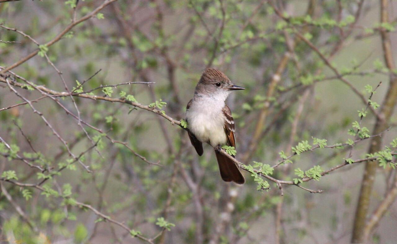 Ash-throated Flycatcher - La Copita Ranch Jim Bolt, TX