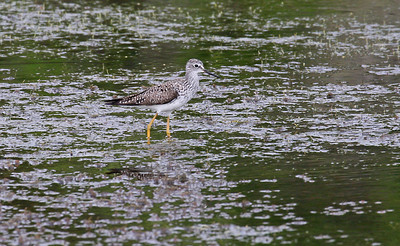 Lesser Yellowlegs - Aransas NWR