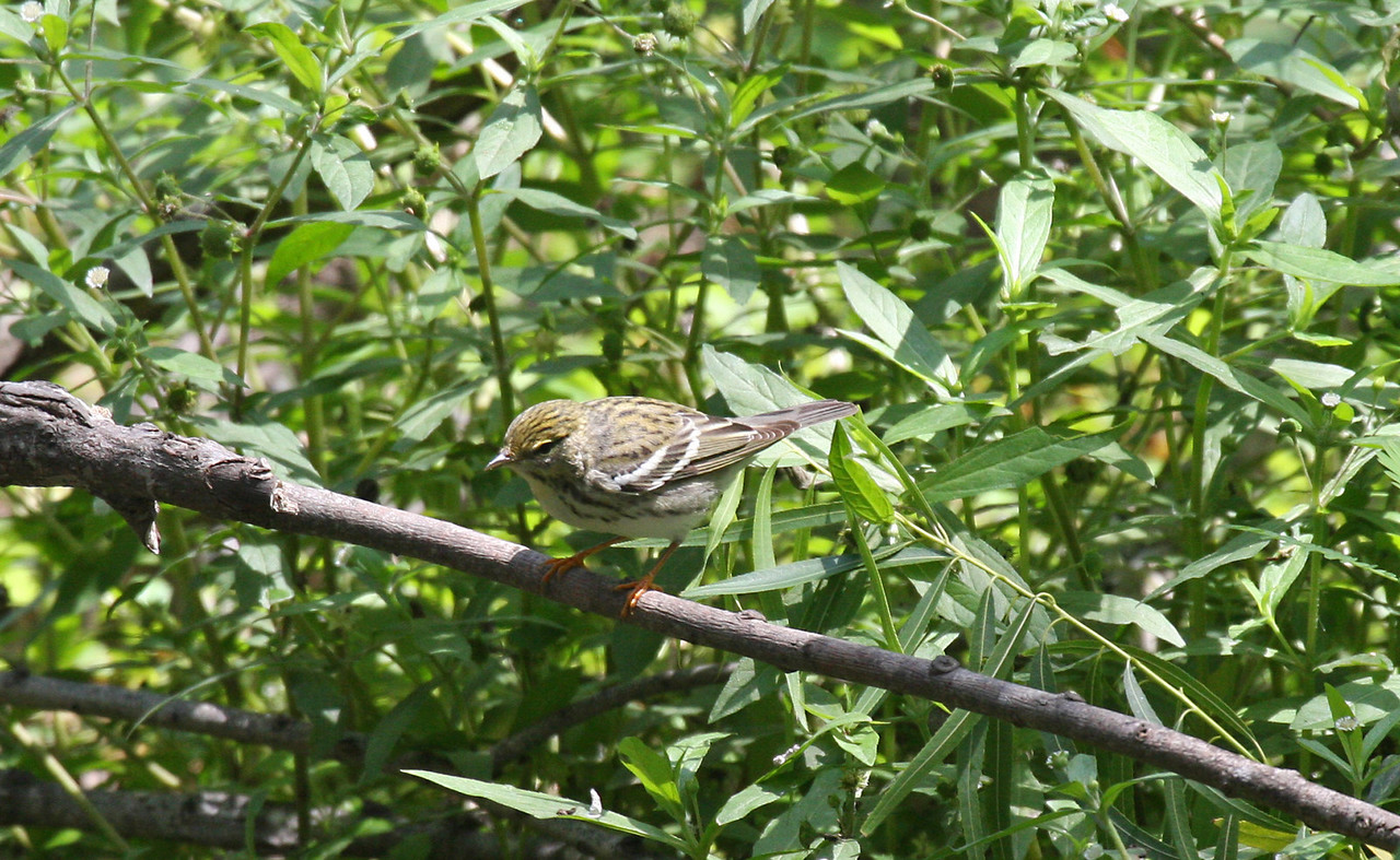 Blackpoll Warbler (Female) - Port Aransas, TX