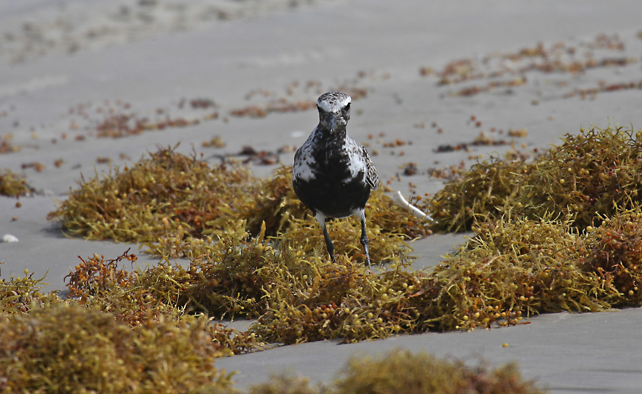 Black-bellied Plover - Port Aransas, TX