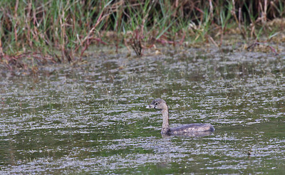 Pied-billed Grebe - Aransas NWR