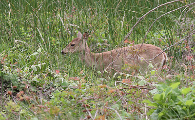 White-tail Deer - Aransas NWR