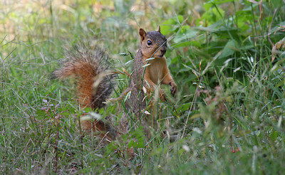 Eastern Fox Squirrel - Aransas NWR