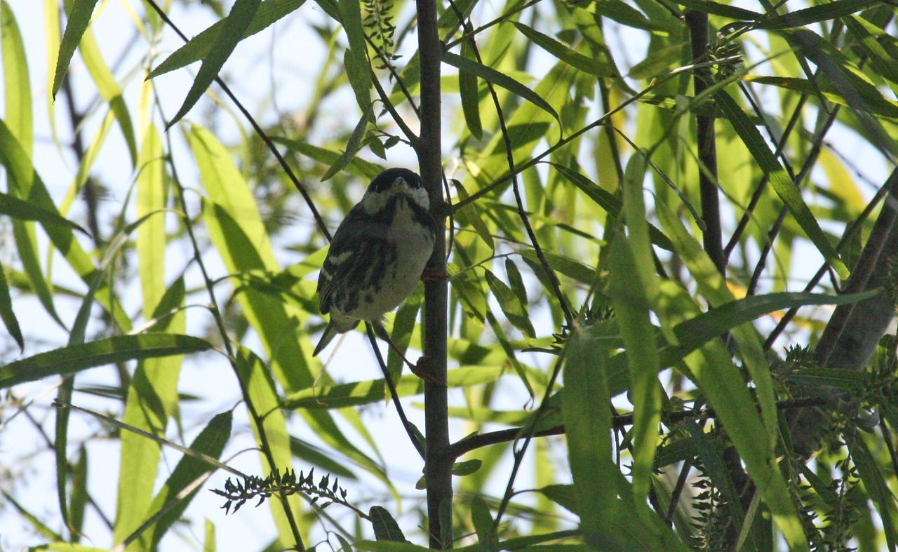 Blackpoll Warbler (Male) - Port Aransas, TX