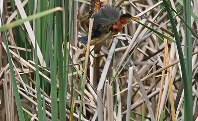 Least Bittern - Aransas NWR