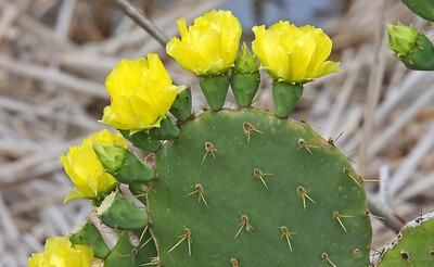 Cactus - Aransas NWR