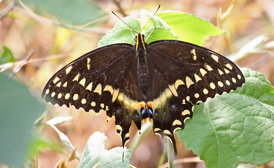Black Swallowtail - Aransas NWR