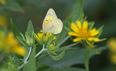 Clouded Sulphur - Aransas NWR