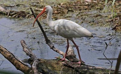 White Ibis - Aransas NWR