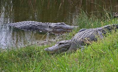 American Alligator - Aransas NWR