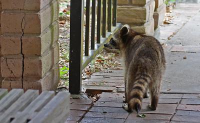 Raccoon - Aransas NWR