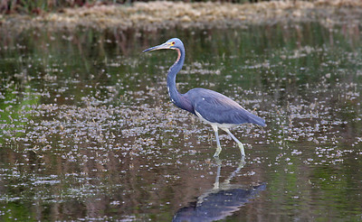 Tri-colored Heron - Aransas NWR