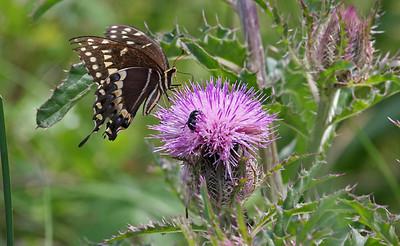 Black Swallowtail - Aransas NWR