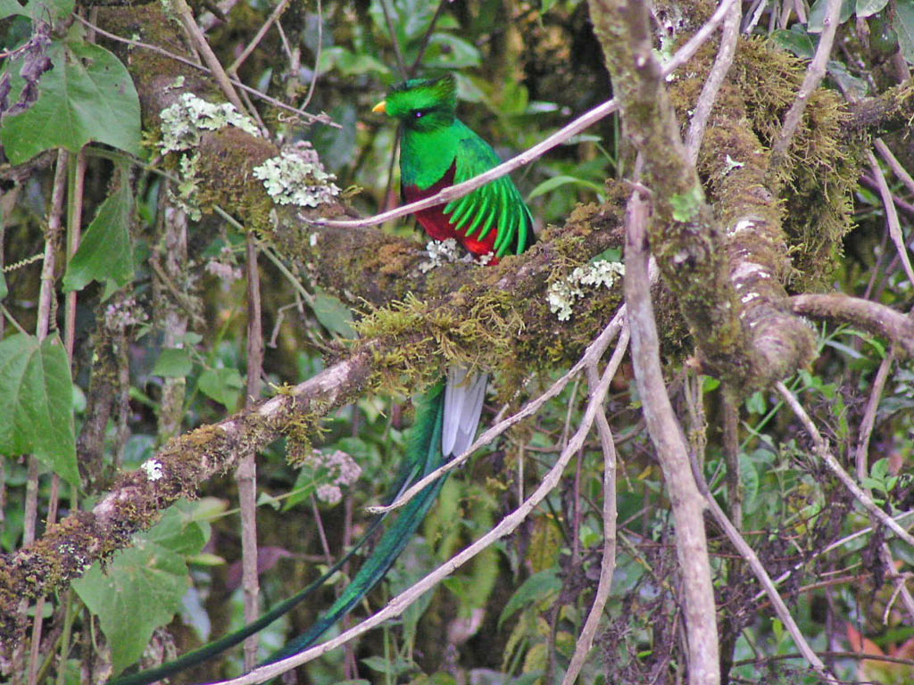 Resplendent Quetzal - Trogon Lodge