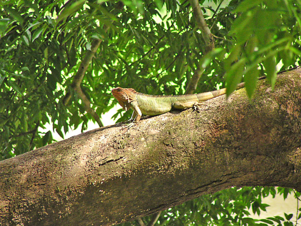 Iguana - Carara NP